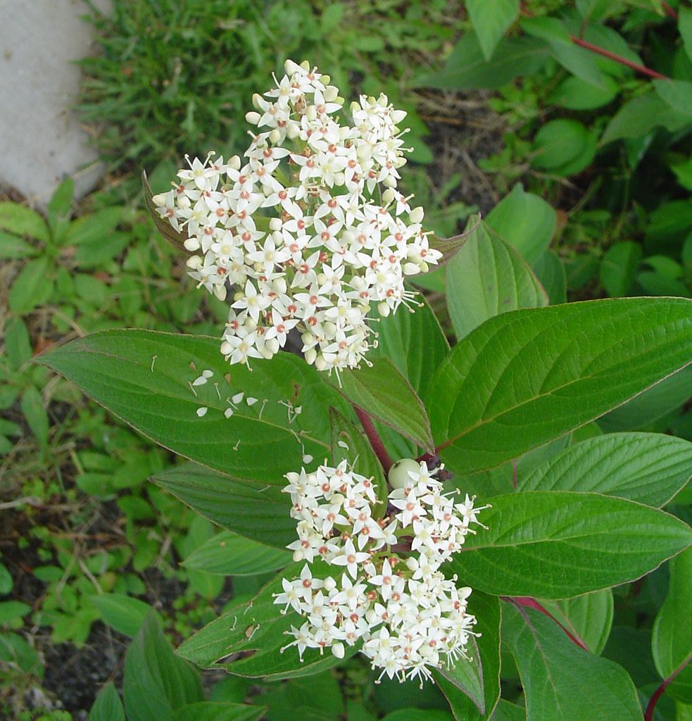 Cornus sericea | Red Osier Dogwood