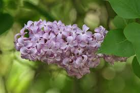 Syringa vulgaris | Common Purple Lilac